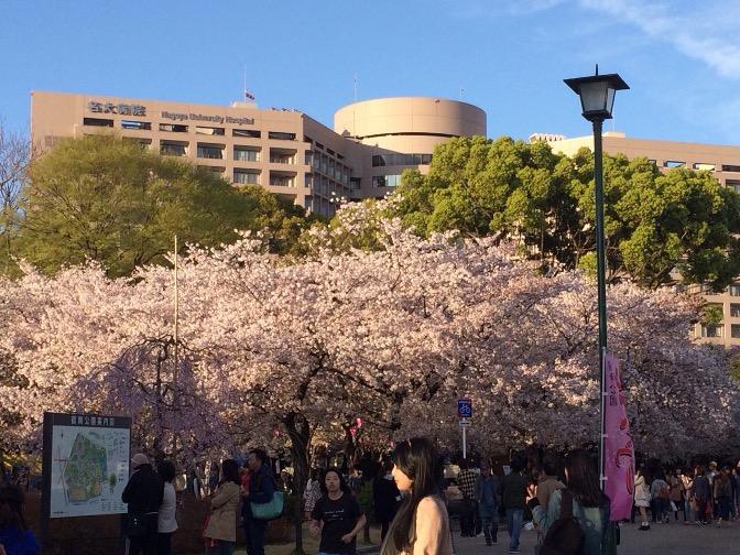 IMG_3043-2 今日の雨で今年の桜も終わり??